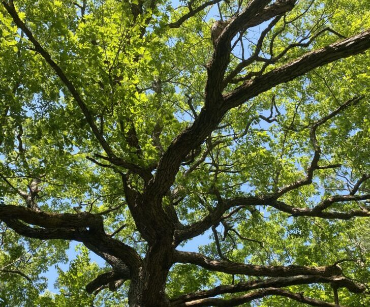 Wolf Tree